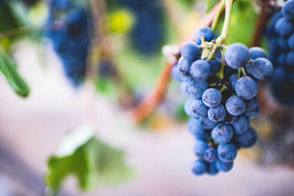 Fruta de Natal - Imagem Cacho de Uvas em uma Parreira